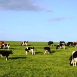 "Governo dos Açores assegura adiantamento aos produtores de leite do denominado ""apoio 1,25 escudos"""
